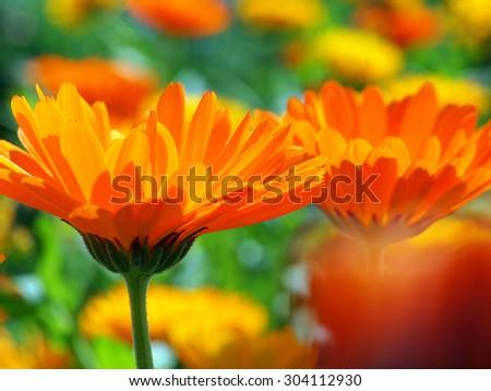 Calendula officinalis  - stock photo