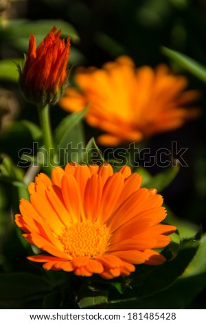 Calendula or English Marigold in the afternoon light. - stock photo