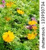 Calendula (Pot Marigold) Flower - stock photo