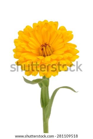 Calendula (Pot Marigold) Flower Isolated on White Background - stock photo