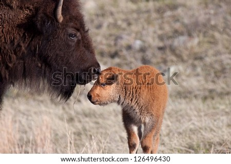 Calf and Mother Bison