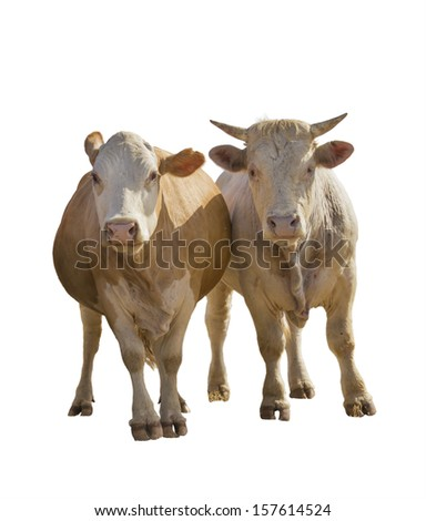 calf and mother cow isolated on white - stock photo