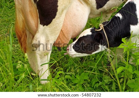 Calf cow feeding on green grass - stock photo