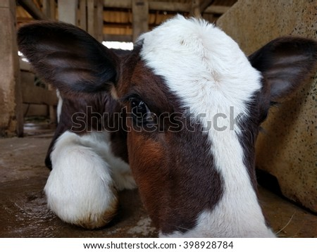 calf dairy cow