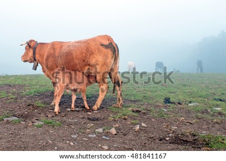 Calf drinking at mother cow in the fog in the countryside from Portugal