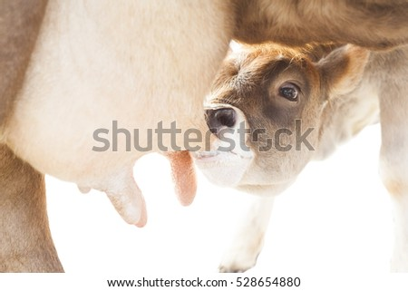 calf drinking milk from mother cow