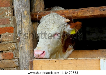 Calf from barn looking over here