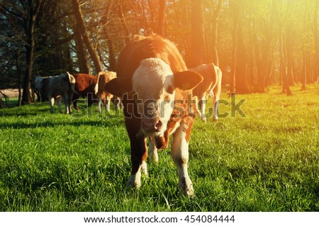 Calf gazing on a lovely green pasture - stock photo