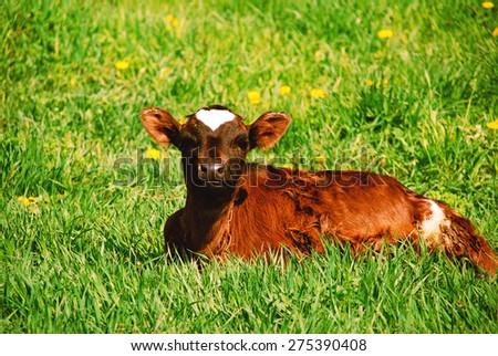 Calf grazing in the grass around the dandelions - stock photo