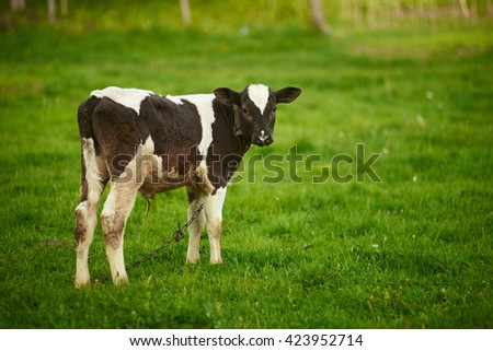 Calf in a pasture - stock photo