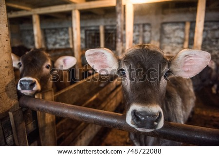 Calf in a stable looking directly into the camera