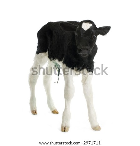 calf in front of a white background - stock photo