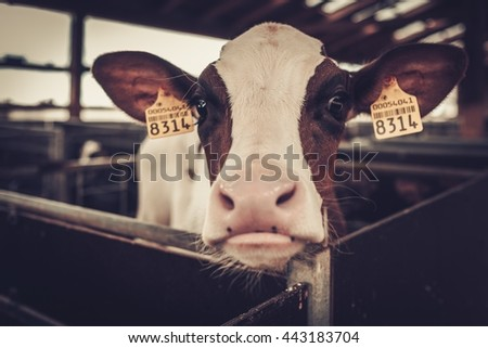 Calf in the cowshed in dairy farm. - stock photo