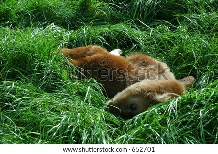 calf in the grass - stock photo