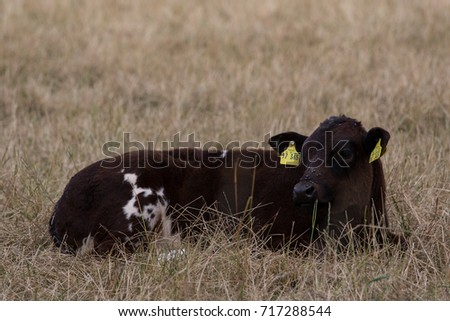 calf lying in the field