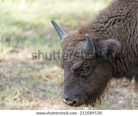 Calf of European bison (Bison bonasus), Prioksky-terraced reservation, Russia - stock photo