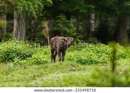 Calf of european bison, wisent (Bison bonasus) - stock photo