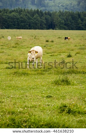 Calf on a green meadow with a more cows and forest in the background