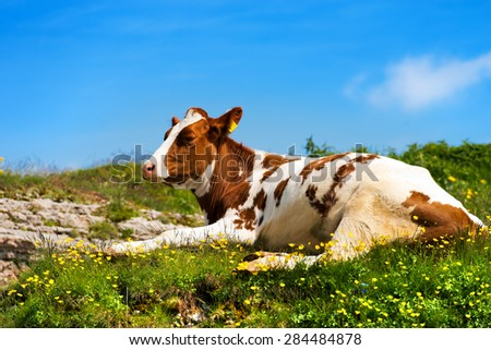 Calf on a Mountain Summer Pasture. White and brown calf, resting on a mountain pasture with green grass, yellow flowers and blue sky with clouds - stock photo