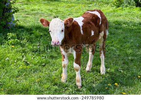 Calf on meadow. - stock photo