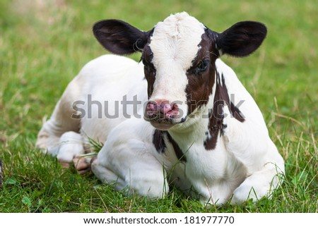 calf on the pasture - stock photo