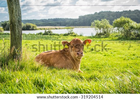 Calf relaxing in the green grass in the summer - stock photo