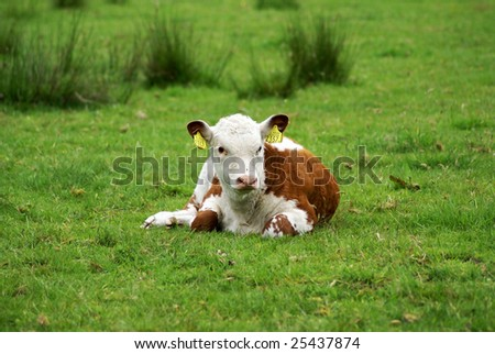 Calf resting in meadow.