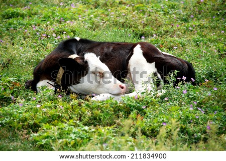 Calf resting on the grass - stock photo