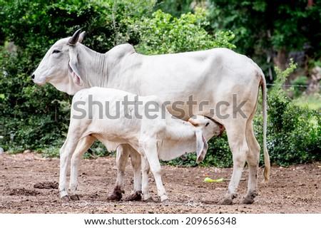 Calf suckling in a beautiful green meadow - stock photo