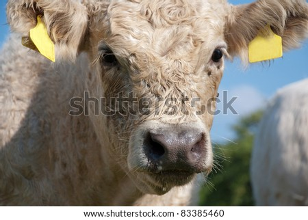 Calf with dark snout