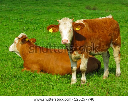 Calf with mother on meadow. - stock photo