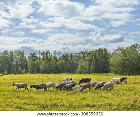 Calfs and lambs on a pasture in a sunny day on Kamchatka