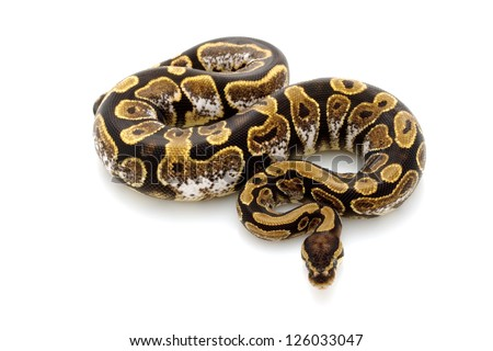 calico ball python (Python regius) isolated on white background.