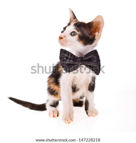 Calico cat - little kitty with a black bow at the neck isolated on white background - stock photo