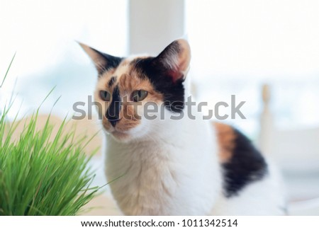Calico cat portrait with healthy wheat grass