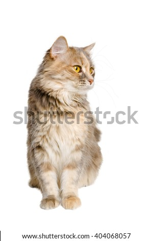 Calico cat sitting and looking away, on a white background.