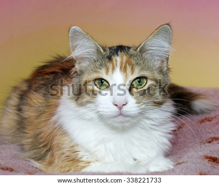 Calico cat sitting on a dirty pink blanket with yellow and pink textured background looking forward.