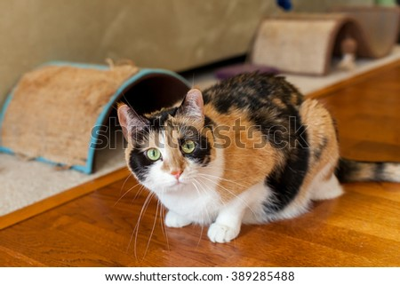 Calico cat with green eyes crouching on hardwood floor