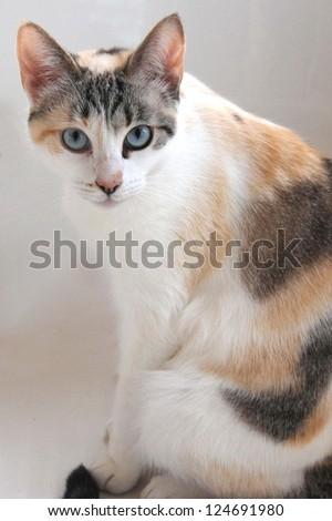 Calico Pastel - stock photo