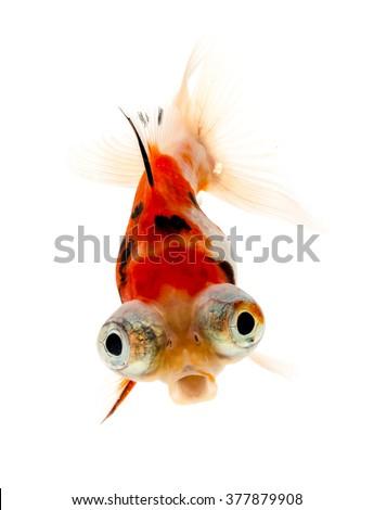Calico Telescope-eyes Goldfish, goldfish on white background. - stock photo