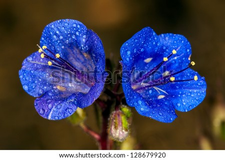 California Bells (phacelia minor), California - stock photo