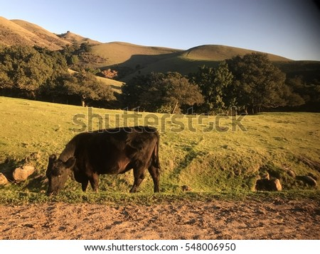 California Cattle