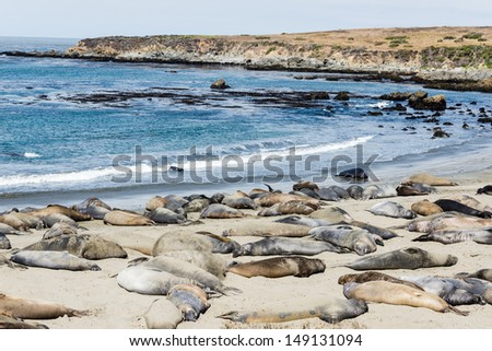 California Central coast north of Cambria - elephant seal colony - stock photo