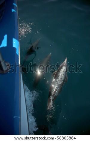 """California common dolphin """"Delphinus delphis"""" swim in the warm pacific ocean off the coast of southern california - stock photo"""
