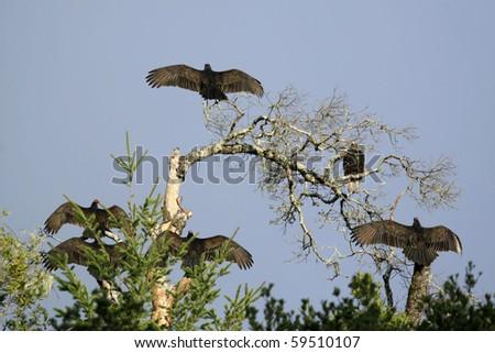 California condors - stock photo