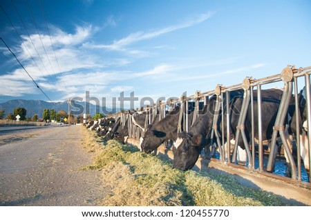 California cows feeding on street side under a bright beautiful blue sky - stock photo