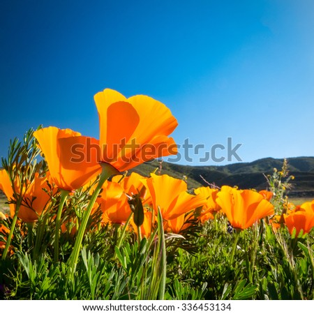 California Golden Poppies blooming wild in a field in the Antelope Valley - stock photo