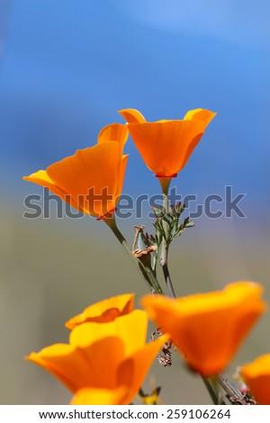 California golden poppy flowers, Big Sur coast, California, USA - stock photo