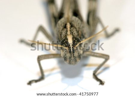 california grey bird grasshopper against white background