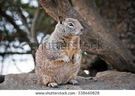 California ground squirrel sitting on a rock - stock photo